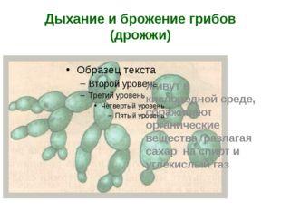 Дыхание и брожение грибов (дрожжи) Живут в кислородной среде, сбраживают орга