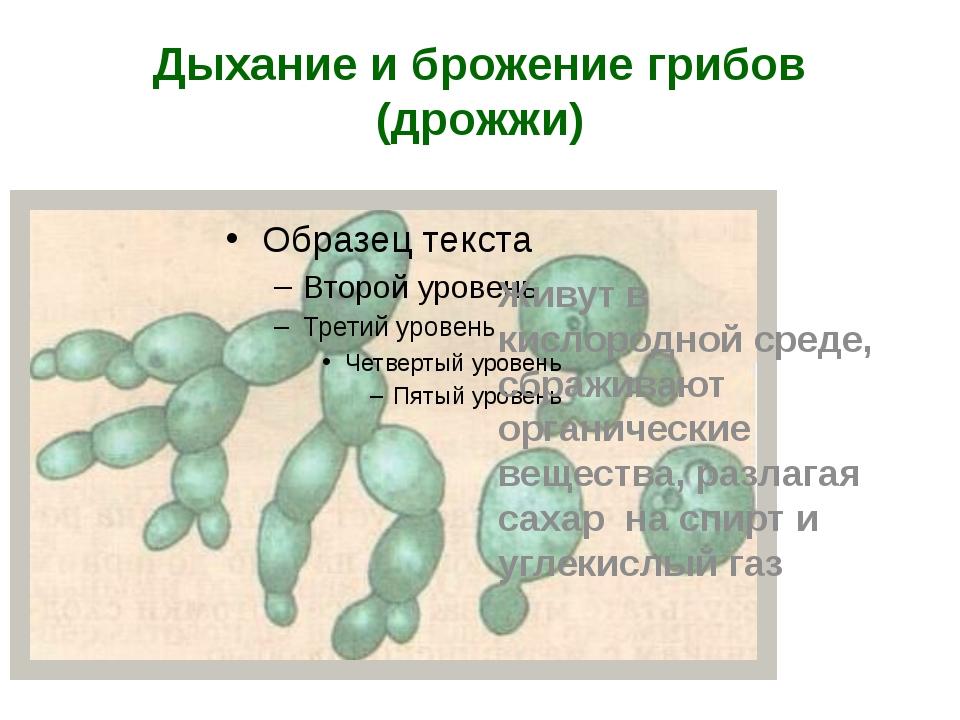 Дыхание и брожение грибов (дрожжи) Живут в кислородной среде, сбраживают орга...