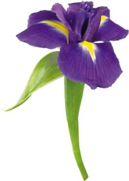 Фото цветы Ирисы фиолетовые, красивые картинки скачать