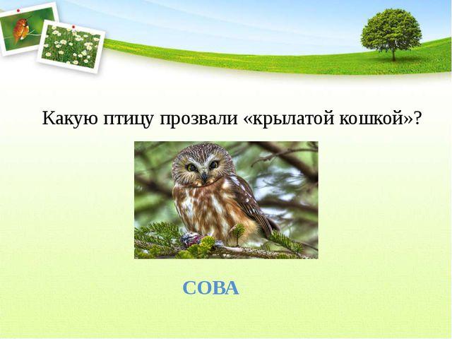 Какую птицу прозвали «крылатой кошкой»?  СОВА