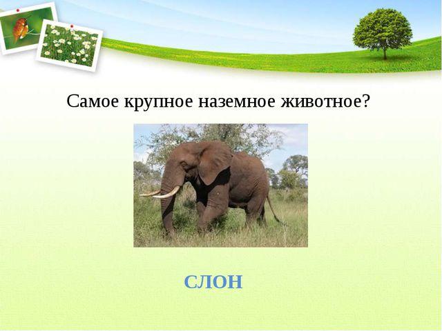 Самое крупное наземное животное? СЛОН