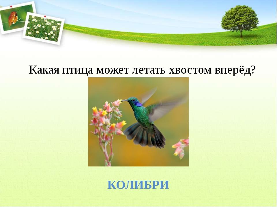 Какая птица может летать хвостом вперёд? КОЛИБРИ