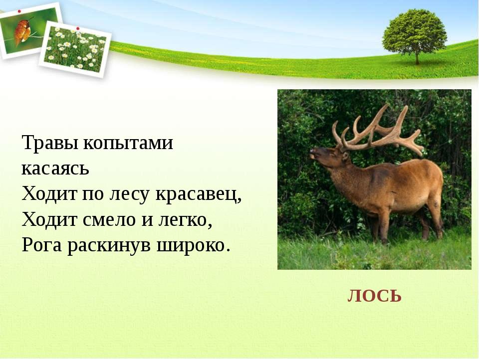 Травы копытами касаясь Ходит по лесу красавец, Ходит смело и легко, Рога...