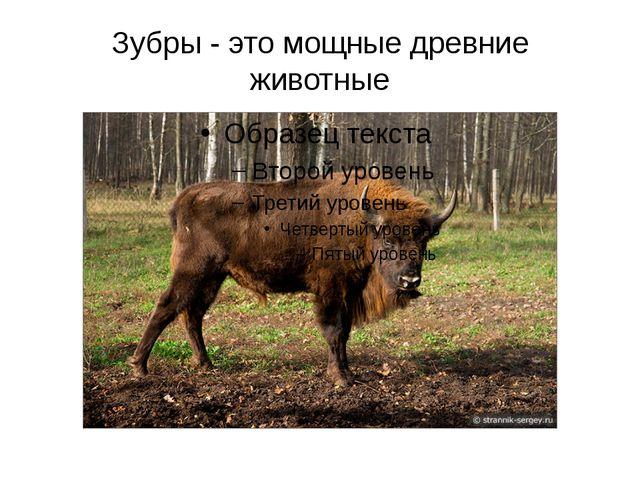 Зубры - это мощные древние животные