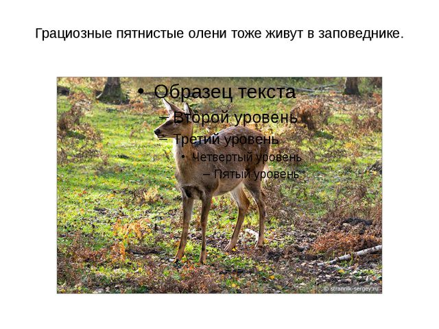 Грациозные пятнистые олени тоже живут в заповеднике.