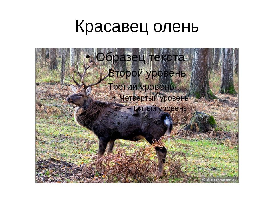 Красавец олень