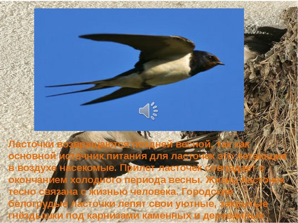 Ласточки возвращаются поздней весной, так как основной источник питания для л...
