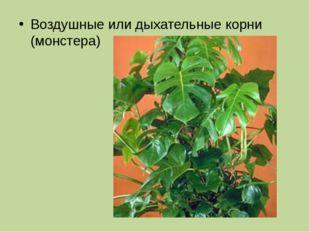 Воздушные или дыхательные корни (монстера)