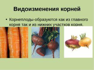 Видоизменения корней Корнеплоды-образуются как из главного корня так и из ниж