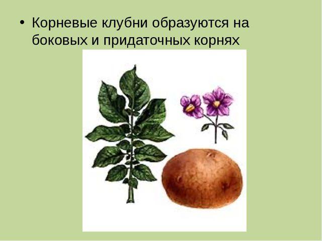 Корневые клубни образуются на боковых и придаточных корнях