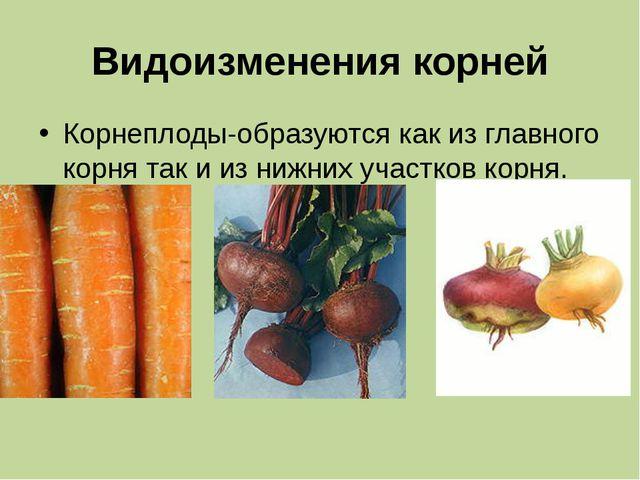 Видоизменения корней Корнеплоды-образуются как из главного корня так и из ниж...