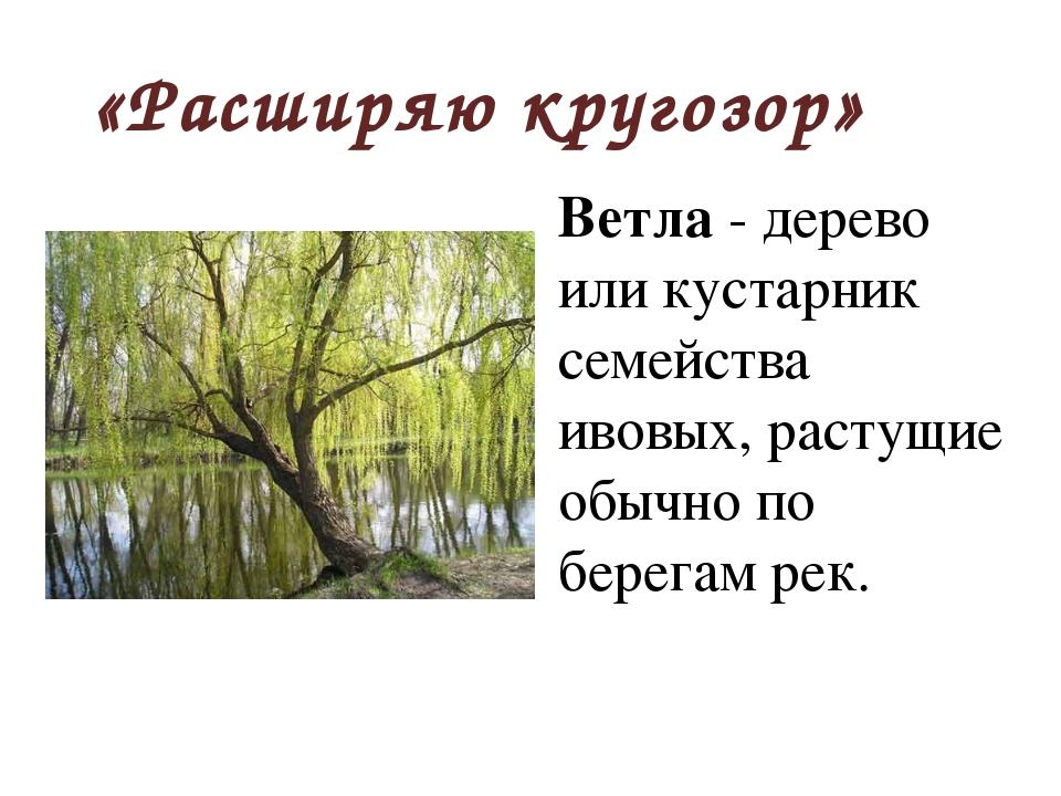 «Расширяю кругозор» Ветла - дерево или кустарник семейства ивовых, растущие о...