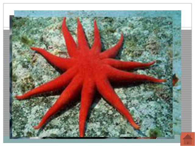 Класс Морские ежи. Свободноживущие животные с жестким панцирем, покрытым подв...