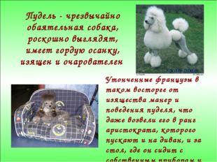 Пудель - чрезвычайно обаятельная собака, роскошно выглядят, имеет гордую осан