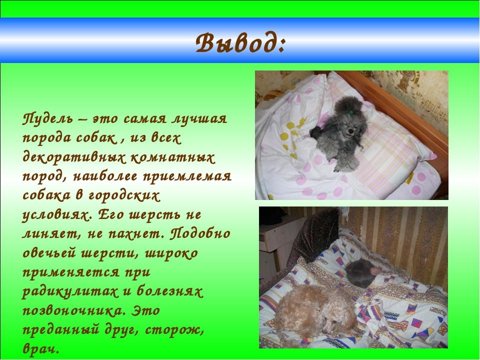 Вывод: Пудель – это самая лучшая порода собак , из всех декоративных комнатны...