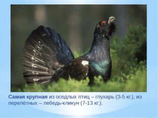 Самая крупная из оседлых птиц – глухарь (3-5 кг.), из перелётных – лебедь-кли