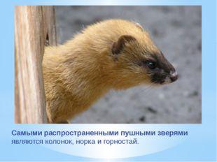 Самыми распространенными пушными зверями являются колонок, норка и горностай.