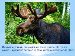 Самый крупный олень наших лесов – лось. На голове самца – красивые ветвистые