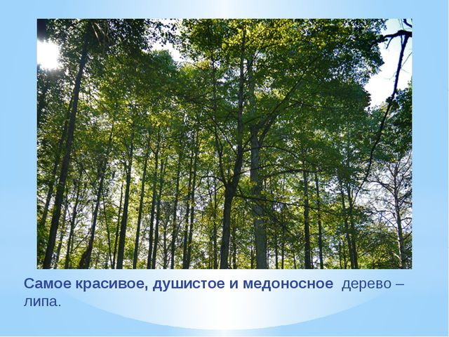 Самое красивое, душистое и медоносное дерево – липа.