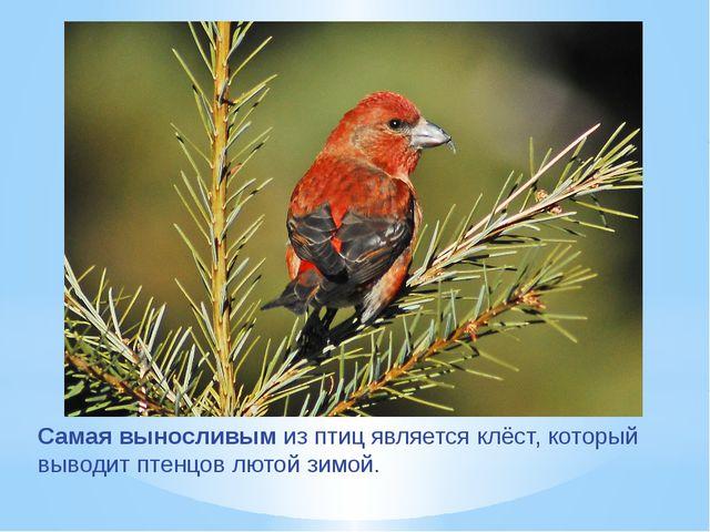 Самая выносливым из птиц является клёст, который выводит птенцов лютой зимой.