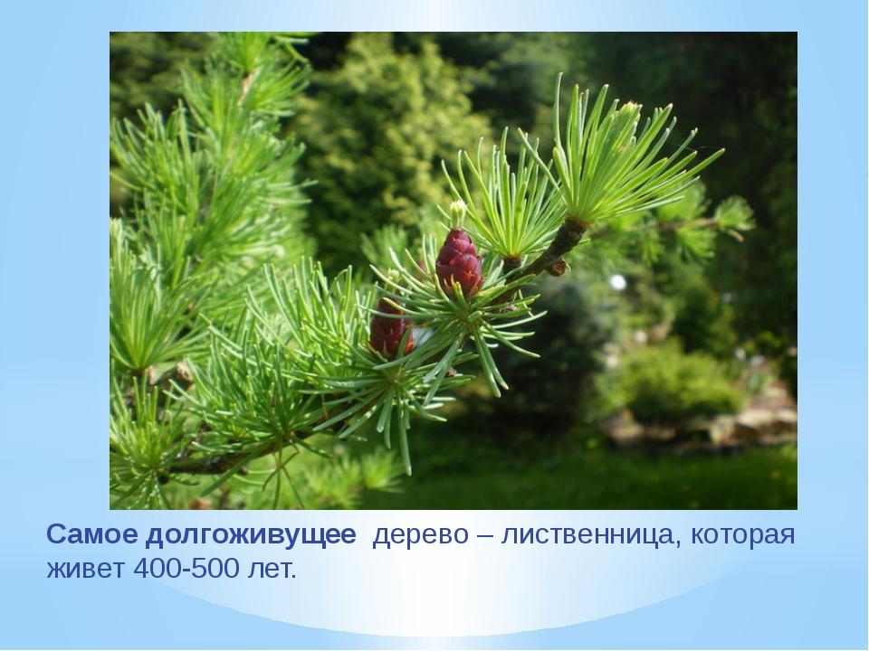 Самое долгоживущее дерево – лиственница, которая живет 400-500 лет.