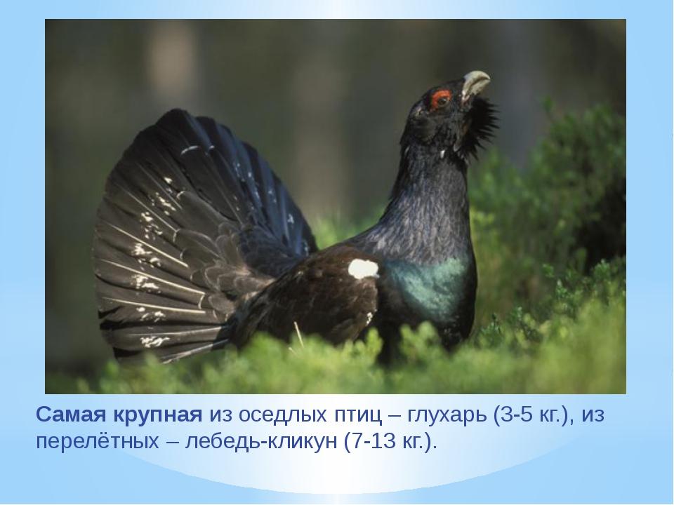 Самая крупная из оседлых птиц – глухарь (3-5 кг.), из перелётных – лебедь-кли...