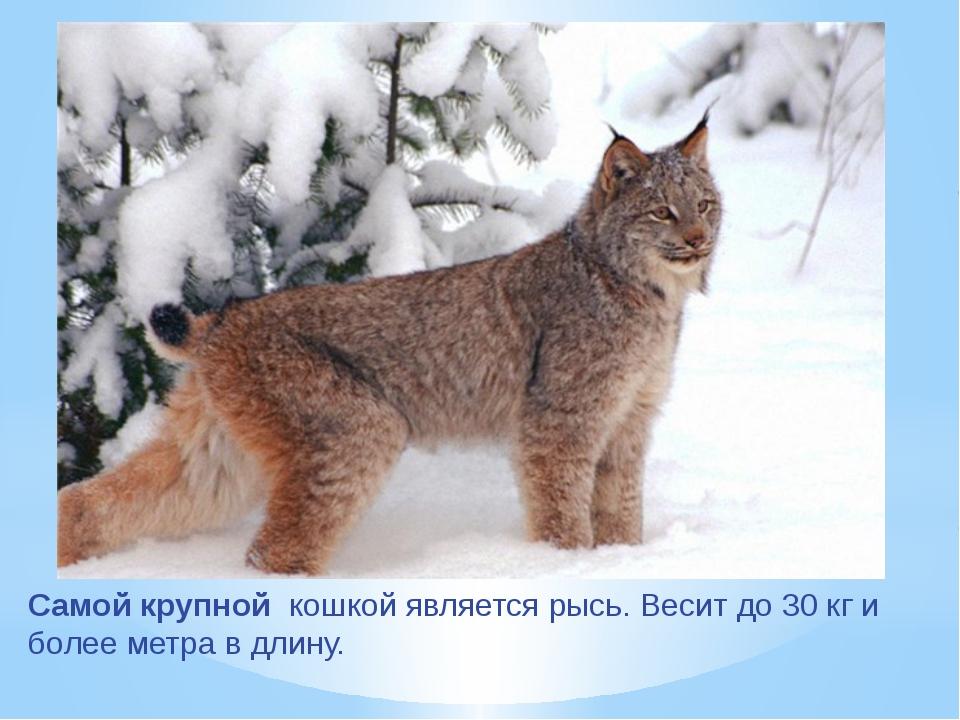 Самой крупной кошкой является рысь. Весит до 30 кг и более метра в длину.