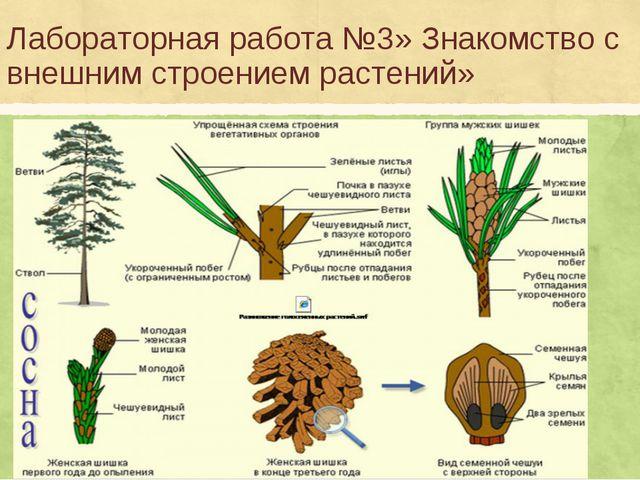Лабораторная работа №3» Знакомство с внешним строением растений»