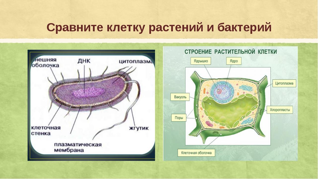 Сравните клетку растений и бактерий