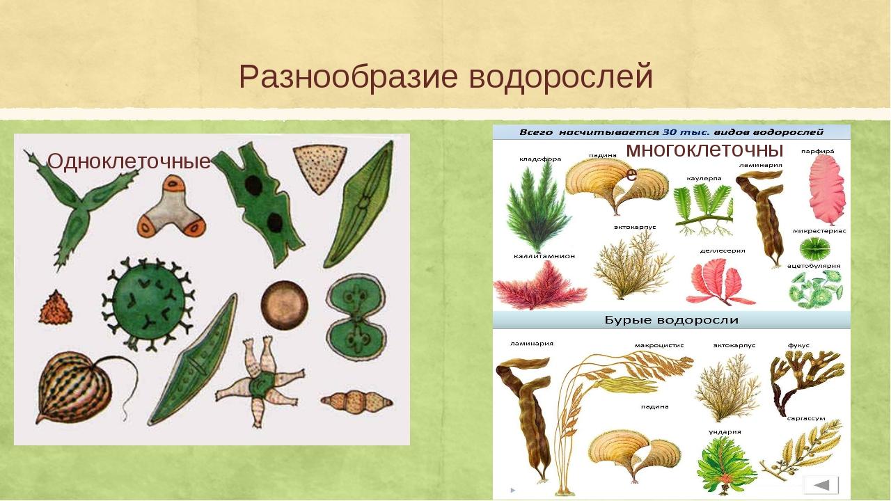 Разнообразие водорослей Одноклеточные многоклеточные