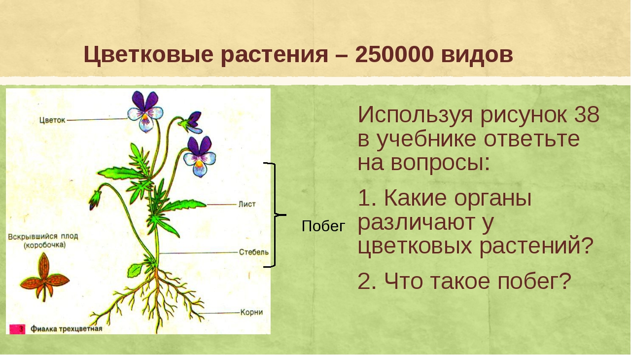 Цветковые растения – 250000 видов Используя рисунок 38 в учебнике ответьте на...