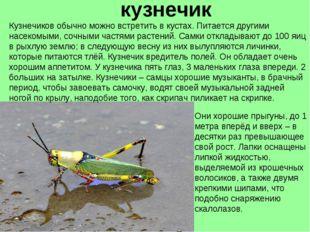 кузнечик Кузнечиков обычно можно встретить в кустах. Питается другими насеком