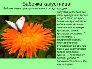Бабочка капустница Капустница поедает все виды культур, и не только капусту.