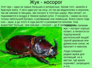 Жук - носорог Этот жук – один из самых больших и интересных. Кроме того, зане