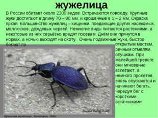 жужелица В России обитает около 2300 видов. Встречаются повсюду. Крупные жуки