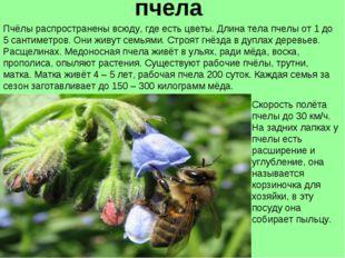 пчела Пчёлы распространены всюду, где есть цветы. Длина тела пчелы от 1 до 5