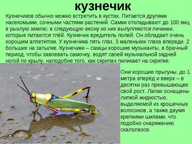 кузнечик Кузнечиков обычно можно встретить в кустах. Питается другими насеком...