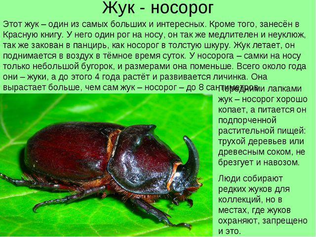 Жук - носорог Этот жук – один из самых больших и интересных. Кроме того, зане...