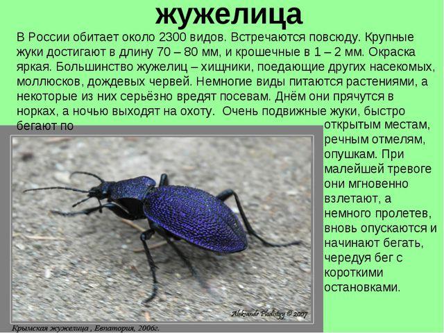 жужелица В России обитает около 2300 видов. Встречаются повсюду. Крупные жуки...