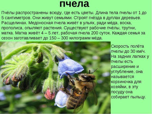 пчела Пчёлы распространены всюду, где есть цветы. Длина тела пчелы от 1 до 5...
