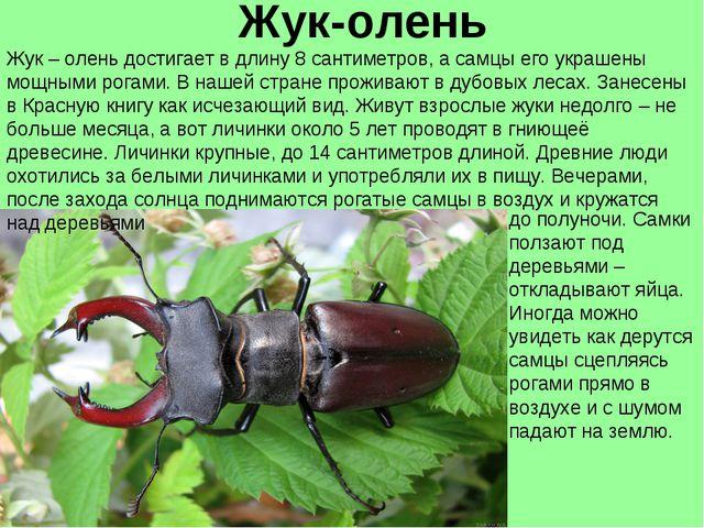Жук-олень Жук – олень достигает в длину 8 сантиметров, а самцы его украшены м...