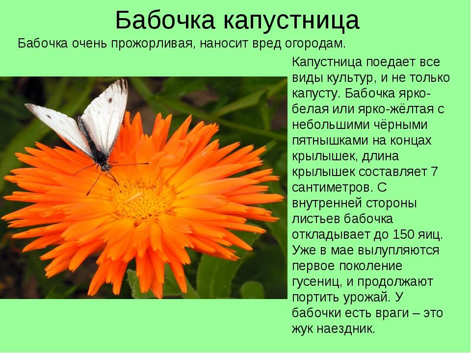 Бабочка капустница Капустница поедает все виды культур, и не только капусту....