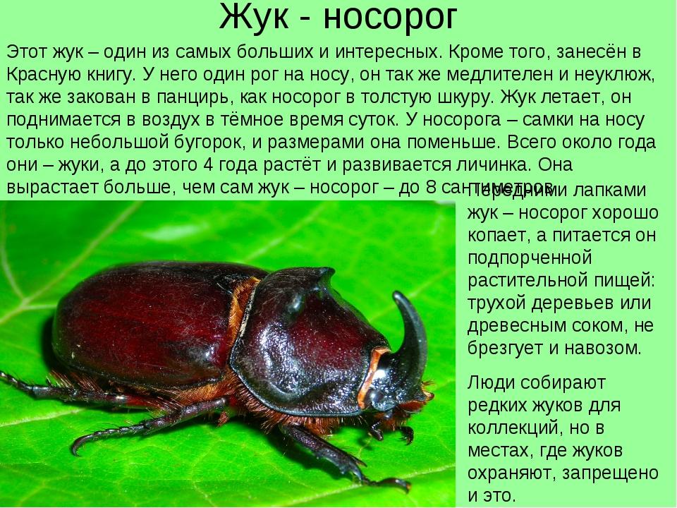 Что едят жук носорог в домашних условиях 509