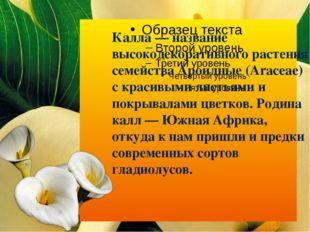 Калла — название высокодекоративного растения семейства Ароидные (Araceae) с