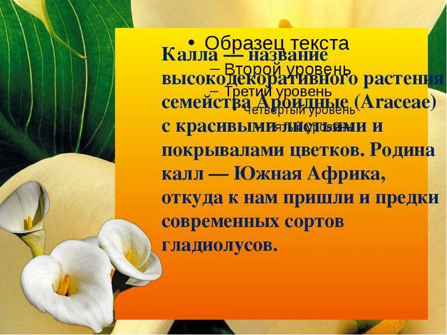 Калла — название высокодекоративного растения семейства Ароидные (Araceae) с...