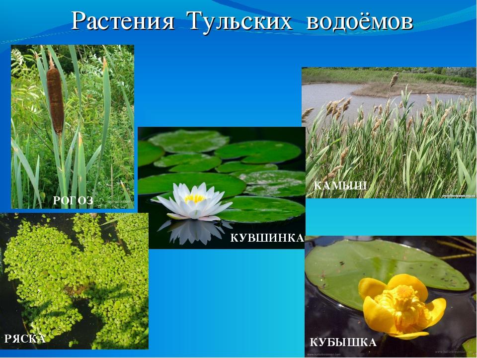 Растения Тульских водоёмов РОГОЗ КУВШИНКА КАМЫШ РЯСКА КУБЫШКА