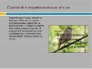 Соловей в подмосковных лесах. Перелётная птица, зимует в Африке. Обитает в сы
