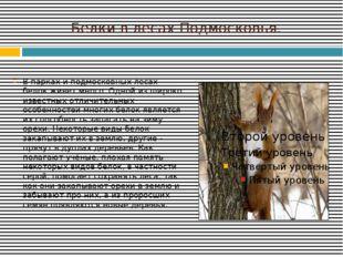 Белки в лесах Подмосковья. В парках и подмосковных лесах белок живет много. О
