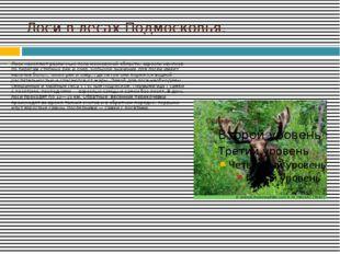 Лоси в лесах Подмосковья. Лоси населяют различные леса московской области, за