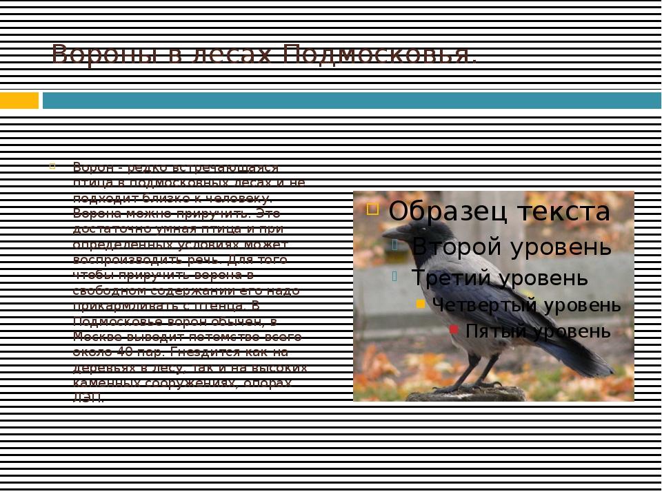 Вороны в лесах Подмосковья. Ворон - редко встречающаяся птица в подмосковных...